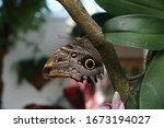 Owl Butterfly Eating Eating On...