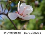 Gently Pink Bud Of Magnolia Tree