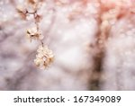 blossoming branch on defocused...   Shutterstock . vector #167349089