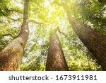 Fantastic Three Large Trees...