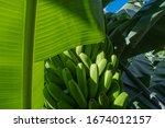 Bananas. Banana Plantation By...