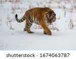 Siberian Tiger Running In Snow. ...