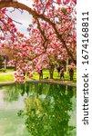 Tree Of Blooming Magnolia....