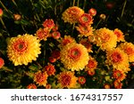 Yellow Orange Winter Mums Or...