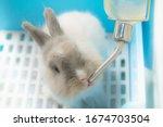Little Cute Rabbit Drinking...