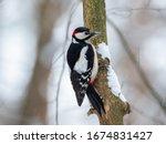 Male Great Spotted Woodpecker ...