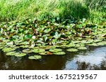 White Water Lilies Bloom In The ...