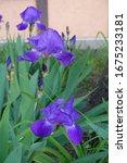 Bright Purple Flowers Of Three...