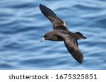 Black Petrel  Marine Bird In...