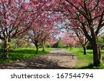 Cherry Blossom Pathway through a Beautiful Garden in Spring - stock photo