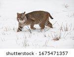 Bobcat  Lynx Rufus  Steps...