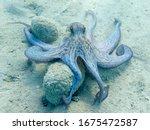 Octopus  Octopus Vulgaris...