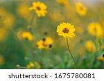 A Coastal Sunflower Lit By The...
