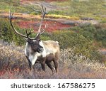male caribou on fall tundra ... | Shutterstock . vector #167586275