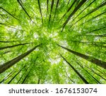 Green Forest Of Beech Trees ...