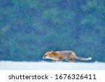 Red Fox Snow Hunting  Vulpes...