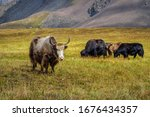 Small photo of Yak-Tibetan cow. Yaks graze in a mountain valley. Yak is farm an d caravan animal in Nepal and Tibet