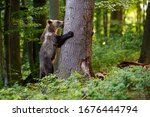 Small photo of Interested young brown bear, ursus arctos, grasping a tree in spring forest. Wondering mammal climbing on big trunk in woodland with copy space from side view.