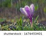 Flower Of White Purple Crocus...