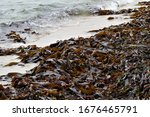 Small photo of Split-fan kelp washed up on the west coast of Namibia,Africa.Kelp is touted as a super food and contains a variety of vitamins and minerals, including vitamin B, zinc, copper, calcium, iron and more.