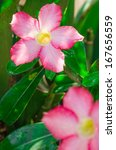 desert rose or impala lily in...   Shutterstock . vector #167656559