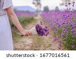 Verbena Field Flower Garden At...