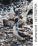 Small photo of Bird-watching adult and chick Nazca Boobies squawking on the rocky coastline of the Galapagos Islands, Ecuador
