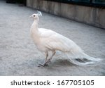 White Peacock Standing On The...
