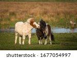 Pony Love. Shetland Ponies...