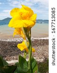 Beautiful yellow lily flower by sea with blue sky. - stock photo