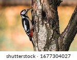 Red Woodpecker Laid On A Branc...