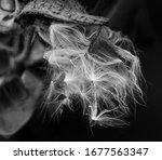 Beautiful Milkweed  Asclepias ...