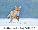 Fox On The Winter Forest Meadow ...
