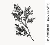 boxwood plant botanical hand... | Shutterstock .eps vector #1677737344