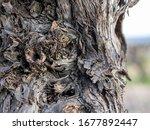 closeup view of vine trunk. old ... | Shutterstock . vector #1677892447