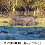 Two Adult Large Blacks And Five ...