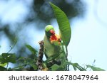 Rose Ringed Parakeet Also Know...