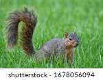 Fox Squirrel In Alert Stance...