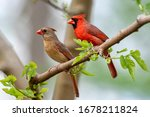 Northern Cardinal Male And...