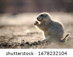 A Prairie Dog Eats In The...