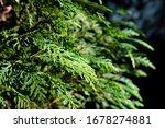 Chamaecyparis Coniferous Tree...