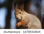 Red Haired Wild Squirrel Sits...