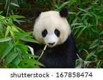 hungry giant panda bear eating... | Shutterstock . vector #167858474