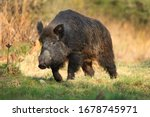 Wild boar, sus scrofa,Big adult wild boar looking for food.Big wild boar in natural environment
