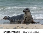 Seal On The Offshore Island Of...