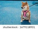 Beautiful Shiba Inu Dog Sitting ...
