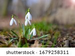Snowdrops In The Forest In Sun...