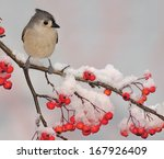 A Winter Tufted Titmouse ...