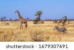 Giraffe And Plains Zebra In Dry ...