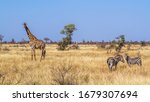 Giraffe And Plains Zebra In Dr...